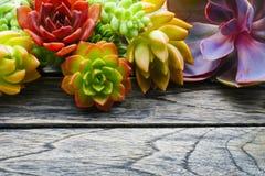 Chiuda sulla pianta succulente variopinta sveglia con lo spazio della copia per testo sul fondo di legno della tavola Immagini Stock