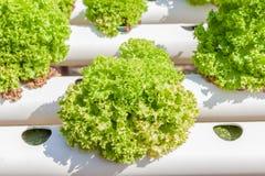 Chiuda sulla piantatura delle verdure di insalata verde di coltura idroponica Immagini Stock