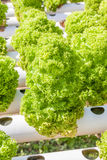 Chiuda sulla piantatura delle verdure di insalata verde di coltura idroponica Immagine Stock