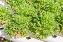 Chiuda sulla piantatura delle verdure di insalata verde di coltura idroponica Fotografia Stock