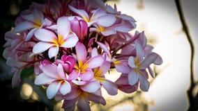 Chiuda sulla plumeria rosa non fioriscono su tempo del tramonto 2 Fotografia Stock