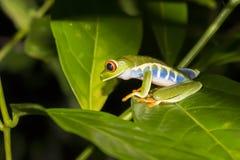 Chiuda sulla rana di albero osservata rosso di profilo sulla foglia nella giungla di notte fotografie stock