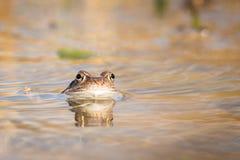 Chiuda sulla rana di Brown & su x28; Temporaria& x29 del Rana; Immagini Stock Libere da Diritti