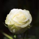 Chiuda sulla rosa di bianco su fondo nero Immagine Stock