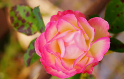 Chiuda sulla rosa di rosa nel giardino Fotografia Stock Libera da Diritti