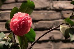 Chiuda sulla rosa di rosa sul fondo del mattone Fotografia Stock