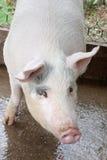Chiuda sulla stalla del maiale Fotografia Stock Libera da Diritti