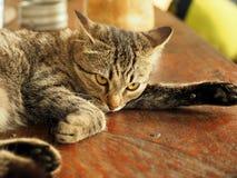 Chiuda sulla stenditura del gatto di soriano Immagine Stock