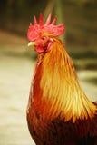 Chiuda sulla testa del pollo Fotografie Stock