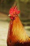 Chiuda sulla testa del pollo Immagini Stock Libere da Diritti