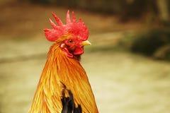 Chiuda sulla testa del pollo Immagine Stock