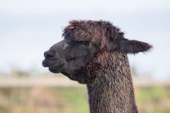 Chiuda sulla testa dell'alpaga marrone e nera della pelliccia con il fondo della sfuocatura Fotografie Stock