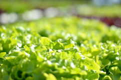 Chiuda sulla verdura di insalata idroponica organica Fotografia Stock