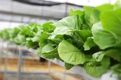 Chiuda sulla verdura idroponica fotografia stock