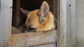 Chiuda sulla vista degli occhi di Dog With Sad del pastore tedesco che nascondono il fronte nel canile stock footage