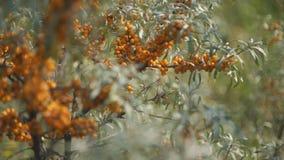 Chiuda sulla vista dei rami arancio dello spincervino archivi video