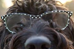 Chiuda sulla vista dei vetri d'uso del cane simile a pelliccia nero con i pois bianchi Immagine Stock Libera da Diritti