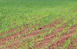 Chiuda sulla vista del campo verde con cereale Immagine Stock