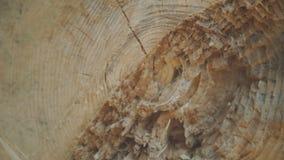 Chiuda sulla vista del gambo tagliato dell'albero con le formiche rawling 4K video d archivio