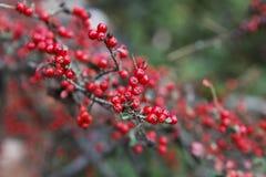 Chiuda sulla vista del ramo del mirtillo rosso Fotografia Stock