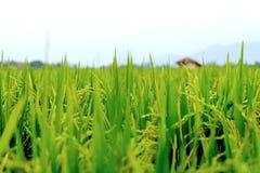 Chiuda sulla vista delle piante di riso verdi Fotografia Stock