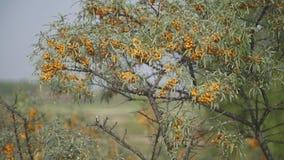 Chiuda sulla vista dello spincervino in fioritura stock footage