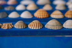 Chiuda sulla vista di molte conchiglie differenti su fondo di legno blu Accumulazione del Seashell Fotografia Stock Libera da Diritti