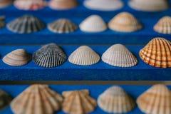 Chiuda sulla vista di molte conchiglie differenti su fondo di legno blu Accumulazione del Seashell Immagini Stock Libere da Diritti