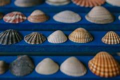 Chiuda sulla vista di molte conchiglie differenti su fondo di legno blu Accumulazione del Seashell Fotografia Stock