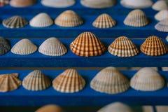 Chiuda sulla vista di molte conchiglie differenti su fondo di legno blu Accumulazione del Seashell Fotografie Stock