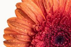 Chiuda sulla vista di un fiore arancio di Gerber Immagini Stock Libere da Diritti