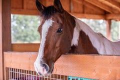 Chiuda sulla vista di una testa di cavallo fotografia stock