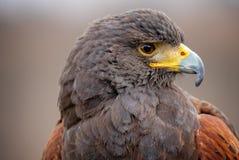 Chiuda sulla vista laterale della testa di un occhio e di un becco ibridi di rappresentazione del falco nel profilo - guardando a immagini stock libere da diritti