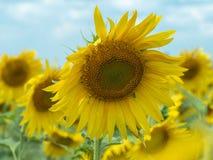 Chiuda sulla vista su parecchi girasoli con i grandi petali gialli che crescono nel giacimento dei girasoli Campo agricolo giallo Fotografia Stock