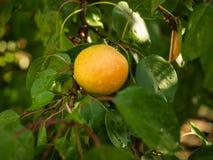 Chiuda sulla vista sul ramo di albero con le foglie verdi e l'albicocca gialla Ramo di albero dell'albicocca con le gocce di piog Fotografia Stock Libera da Diritti