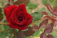 Chiuda sulla vista superiore dell'le rose rosse luminose caucasiche semiaperte Fotografia Stock
