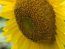 Chiuda sulla vista sulla testa del girasole con i grandi petali gialli che crescono nel campo agricolo all'estate Priorità bassa  Immagine Stock