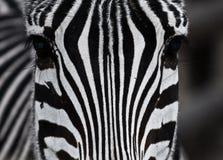 Chiuda sulla zebra Fotografie Stock