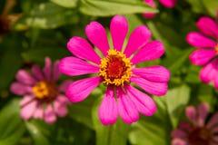 Chiuda sulla zinnia fioriscono o violacea Cav di zinnia nel giardino Immagini Stock Libere da Diritti
