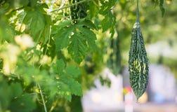 Chiuda sulla zucca amara o sul cetriolo amaro che cresce nell'azienda agricola dell'agricoltura della pianta del campo Fotografia Stock Libera da Diritti