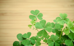 Chiuda sulle foglie dei trifogli per fondo Il simbolico del trifoglio t Fotografie Stock