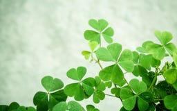 Chiuda sulle foglie dei trifogli per fondo Il simbolico del trifoglio t Immagini Stock