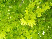 Chiuda sulle foglie di acero verdi sull'albero di acero nel parco fotografie stock libere da diritti
