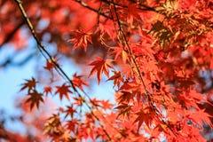Chiuda sulle foglie rosse con il fondo del cielo Fotografia Stock