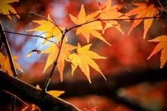 Chiuda sulle foglie rosse nel Giappone Fotografia Stock Libera da Diritti