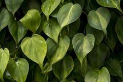 Chiuda sulle foglie verdi su un ramo per il fondo di struttura della natura fotografia stock
