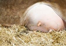 Chiuda sulle mammelle delle mucche Fotografia Stock Libera da Diritti