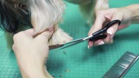 Chiuda sulle mani della pelliccia dei tagli del groomer sulle zampe del cane con le forbici Governando dell'Yorkshire terrier archivi video