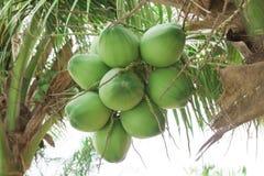 Chiuda sulle noci di cocco fresche con un mazzo sull'albero Fotografia Stock