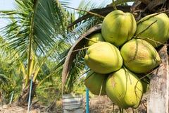 Chiuda sulle noci di cocco sull'albero in giardino, piantagione della noce di cocco Fotografia Stock